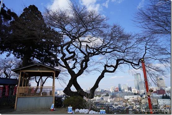 仙台 愛宕神社 エドヒガン桜