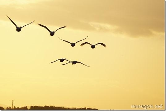 伊豆沼 白鳥