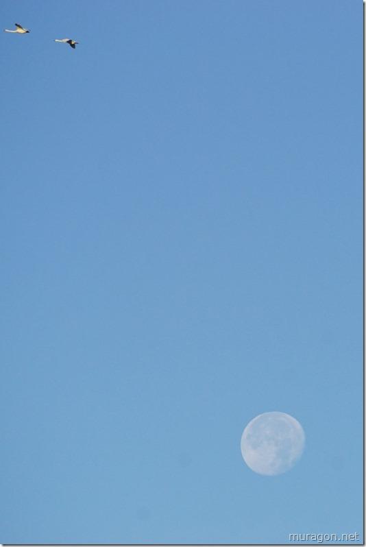 伊豆沼 白鳥 月