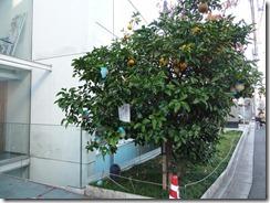 橘桜の夏みかんの木