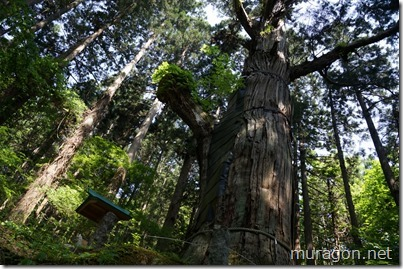 志和稲荷神社 御神木 大杉