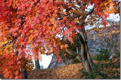 中津川の紅葉と石垣