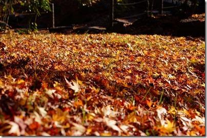 一面の落ち葉