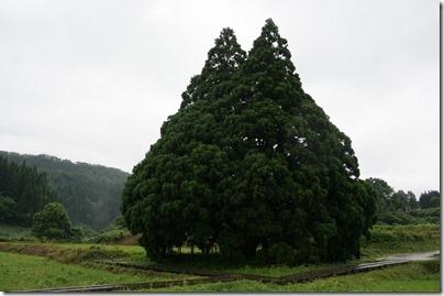 トトロの木「小杉の大杉」