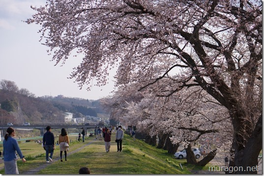 磐井川桜並木 最後