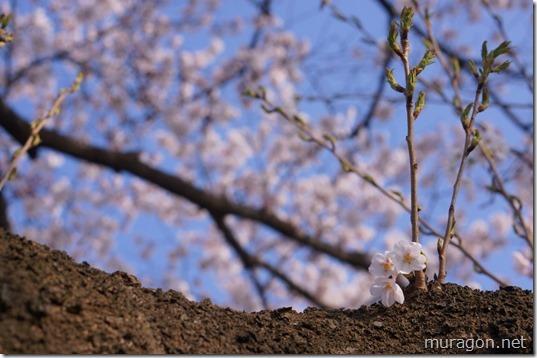磐井川桜並木