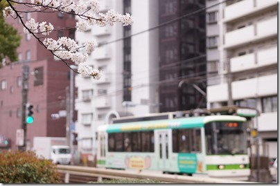面影橋 都電 桜