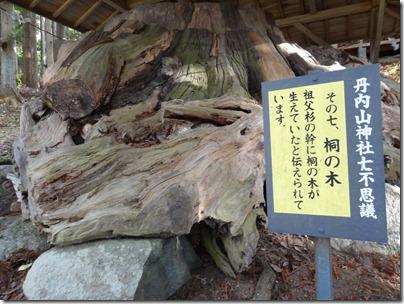 その七、祖父杉の幹に桐の木が生えていた。
