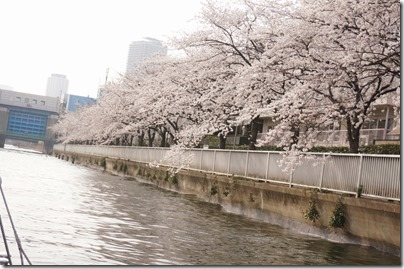 小名木川の桜