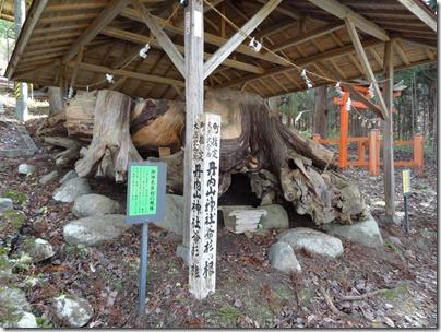 御神木爺杉の根株