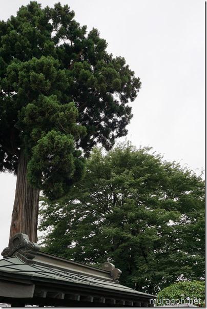 盛岡市景観重要樹木 天昌寺の杉